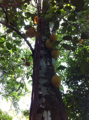 Jackfruit001