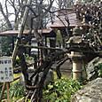 愛宕神社の梅