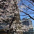 桜咲く日比谷