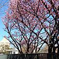 桜(陽光)と国会議事堂