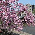 浅野川のしだれ桜
