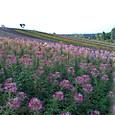 美瑛 花の丘